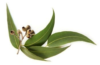 Эфирное масло эвкалипта сильный антисептик, снижает продукцию кожного сала